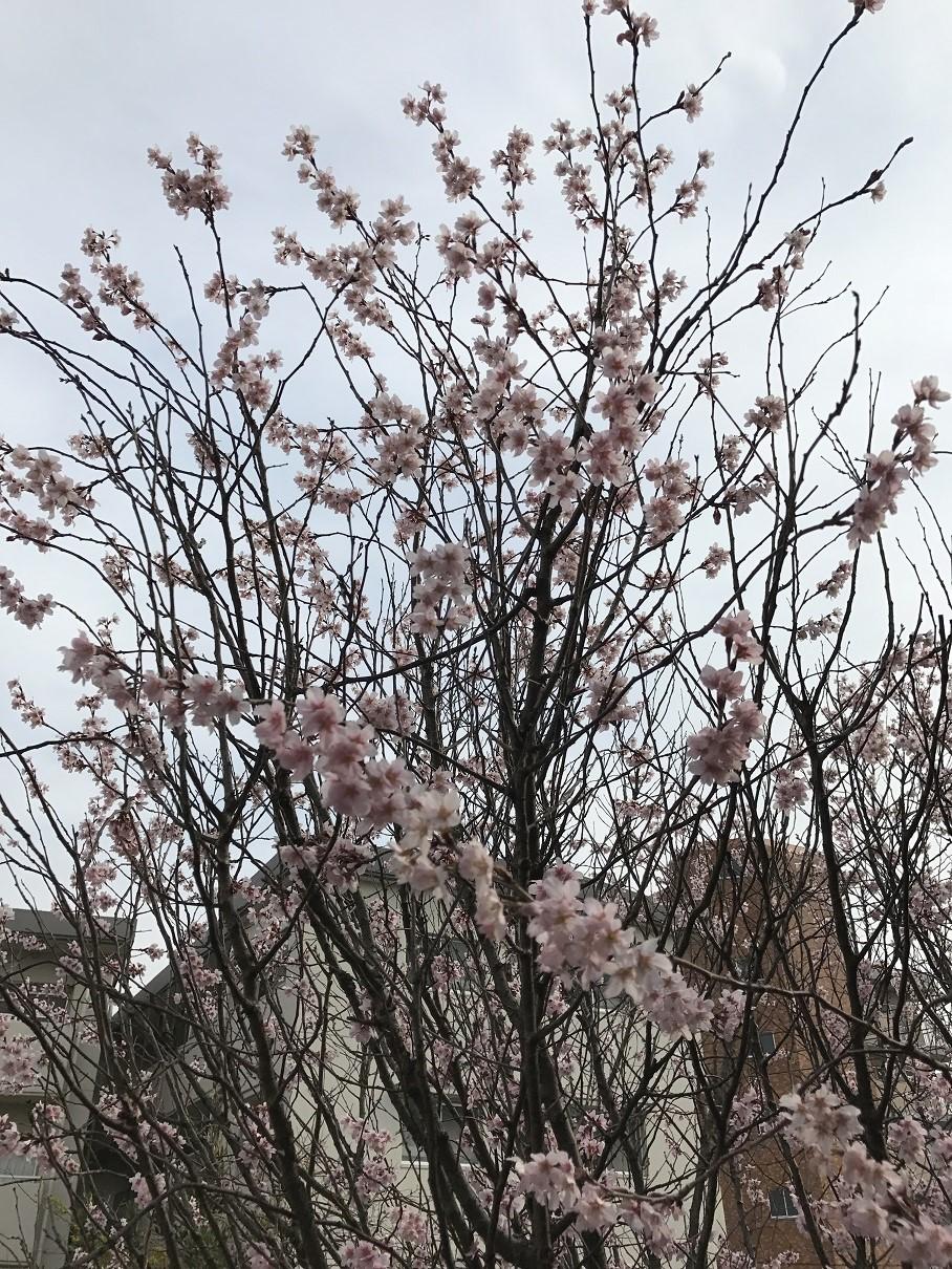 ゆふの郷 桜2