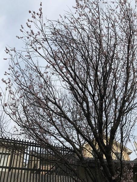 ゆふの郷 桜
